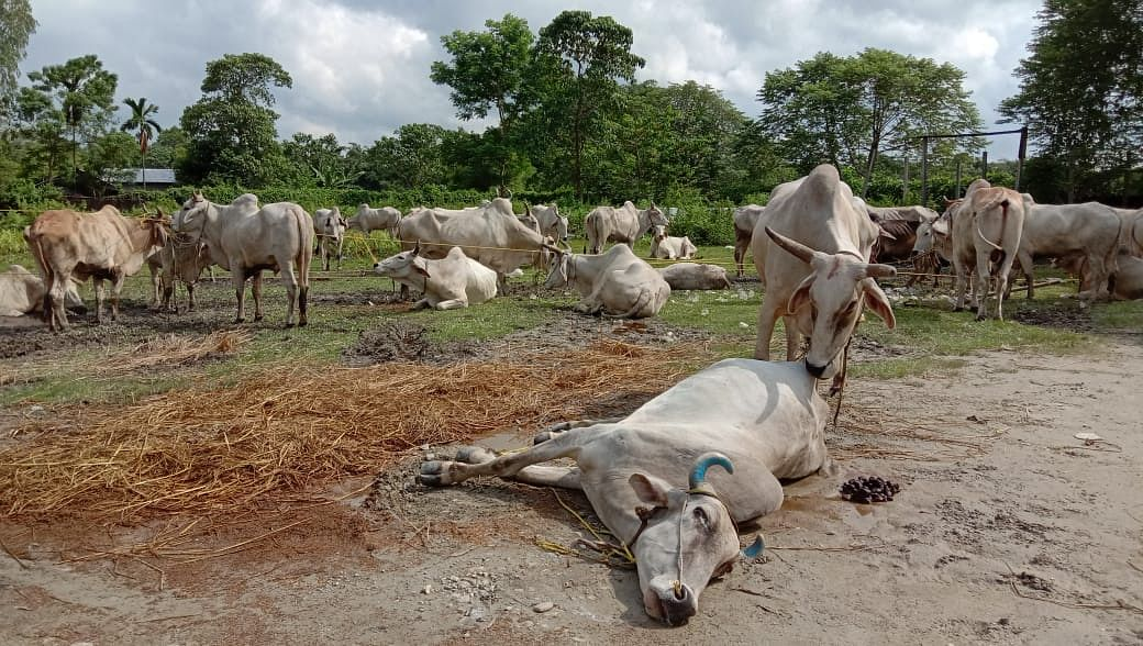 Among the seized cattle, condition of two cows are deteriorating