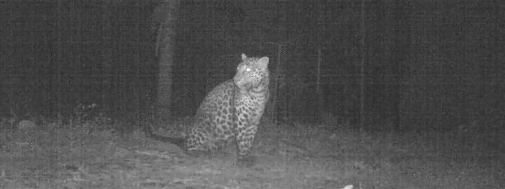 The leopard which was captured by officials of the state forest department on Friday