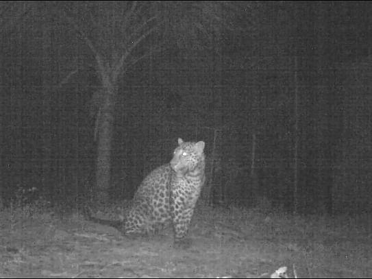 Nagaland: After week of terror, leopard finally caught in Dimapur