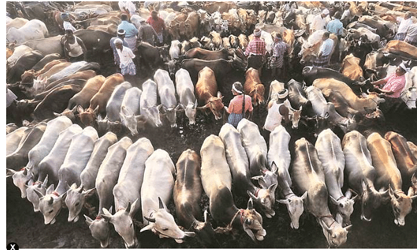 Tripura body irked over cow smuggling; serves ultimatum to govt