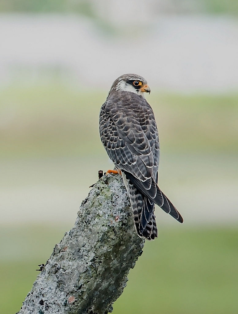The Wokha district administration in Nagaland declared the Amur Falcon roosting site at Pangti a 'silence zone' for the month of October and November