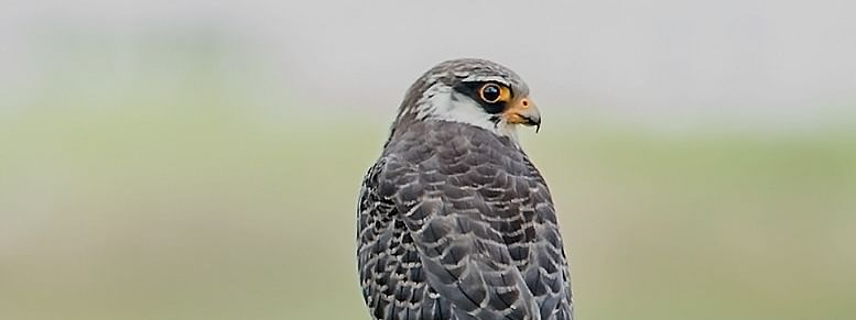 The Wokha district administration in Nagaland has already declared the Amur falcon roosting site at Pangti a 'silence zone' within a radius of 3 km for the month of October and November