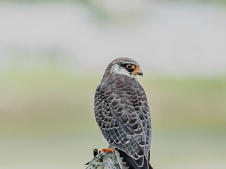 Amur falcon roosting site in Nagaland notified as 'silence zone'