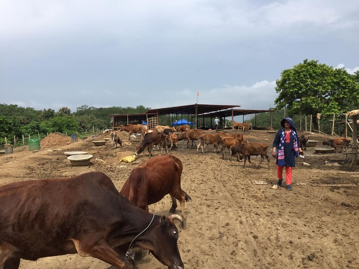 A  total of 593 cows are at present kept in the shelter house at Devipur