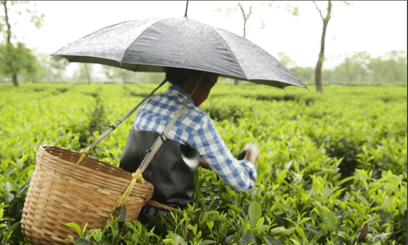 Of Rs 68 for 200gm branded Assam tea, workers get only Rs 5: Study