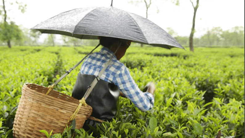 According to the study, many women tea pickers regularly clock up to 13 hours of backbreaking work a day receiving between Rs 110 and Rs 130 a day