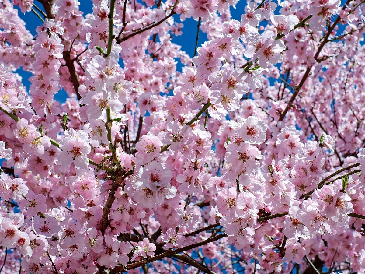 South Korea is country partner for 4th Cherry Blossom Festival