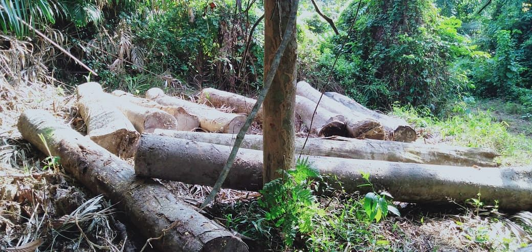 Some of the felled trees along Assam-Nagaland border
