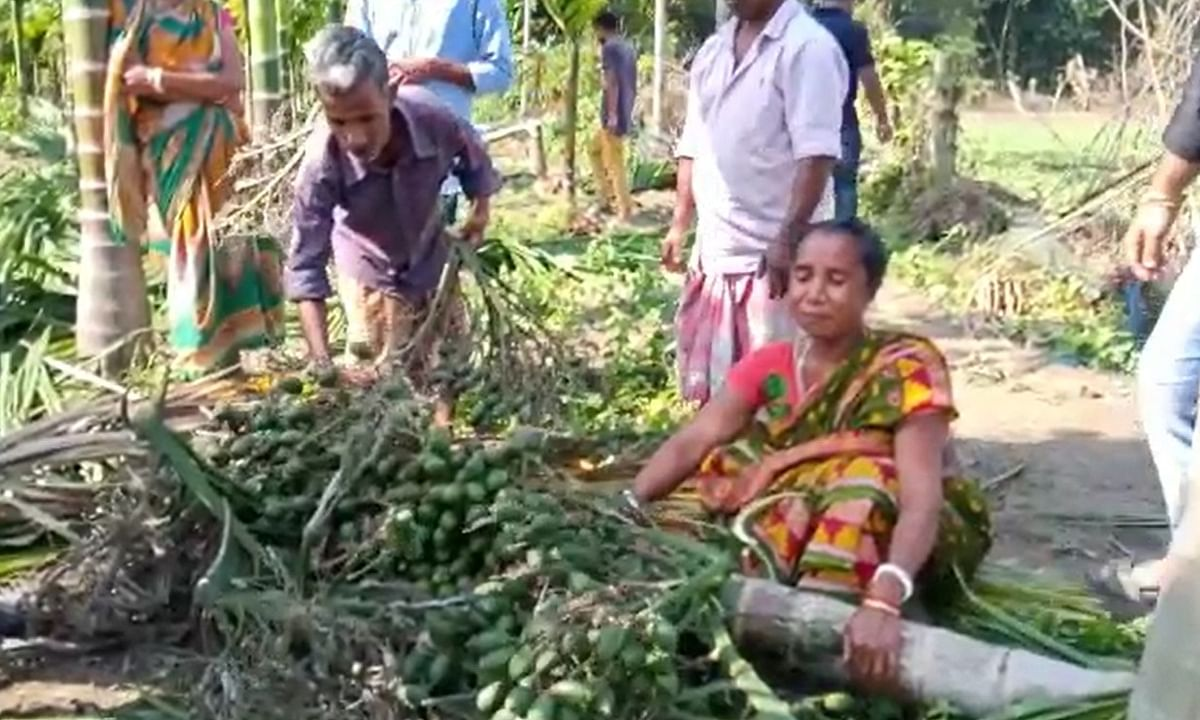 The herd of wild jumbos destroyed nearly one bigha land of betel nut plantations in the area