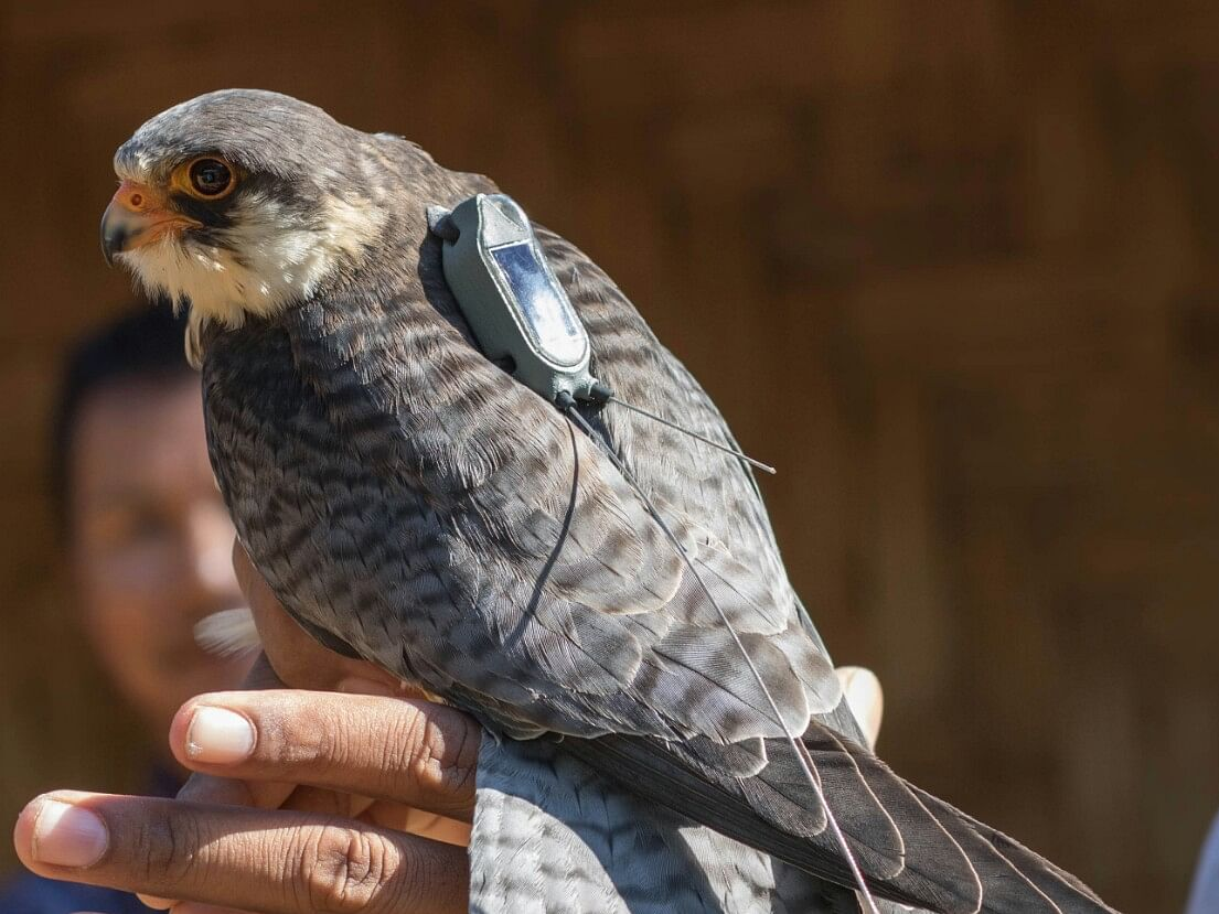 5 'satellite-tagged' Amur falcons released from Manipur