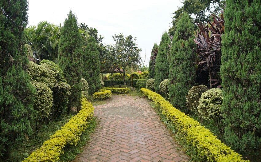 One of the special attractions of Matai Garden are the beautiful and well-shaped Duranta plants