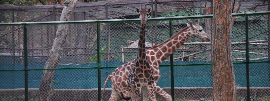 The giraffes were officially welcomed by Assam forest minister Parimal Suklabaidya and other dignitaries in Guwahati Zoo on Friday