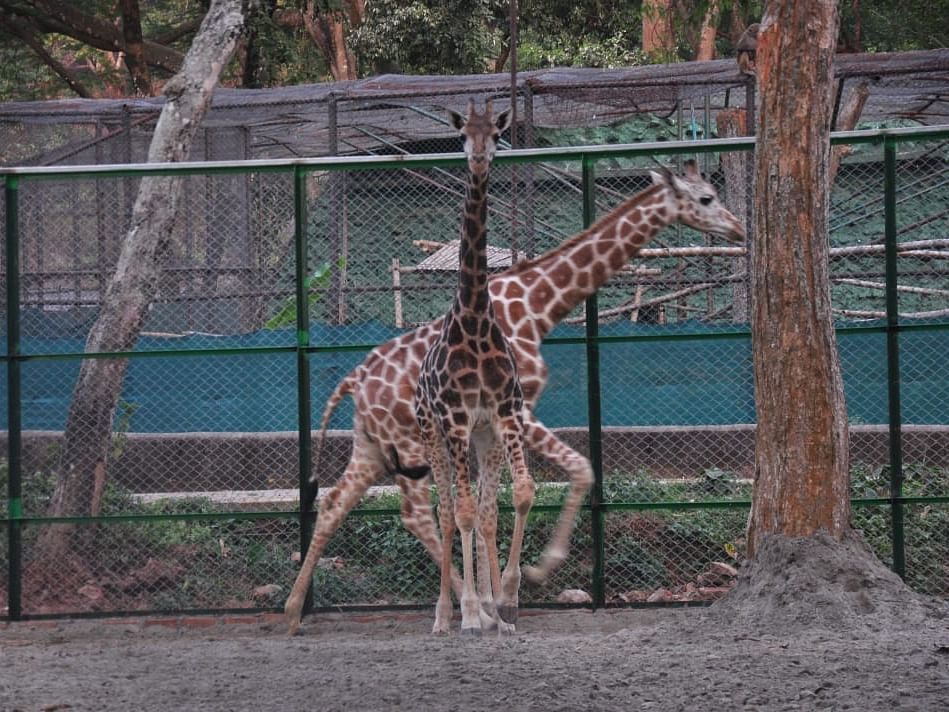 Assam zoo welcomes giraffe couple, names them Rongali, Kul Nandan