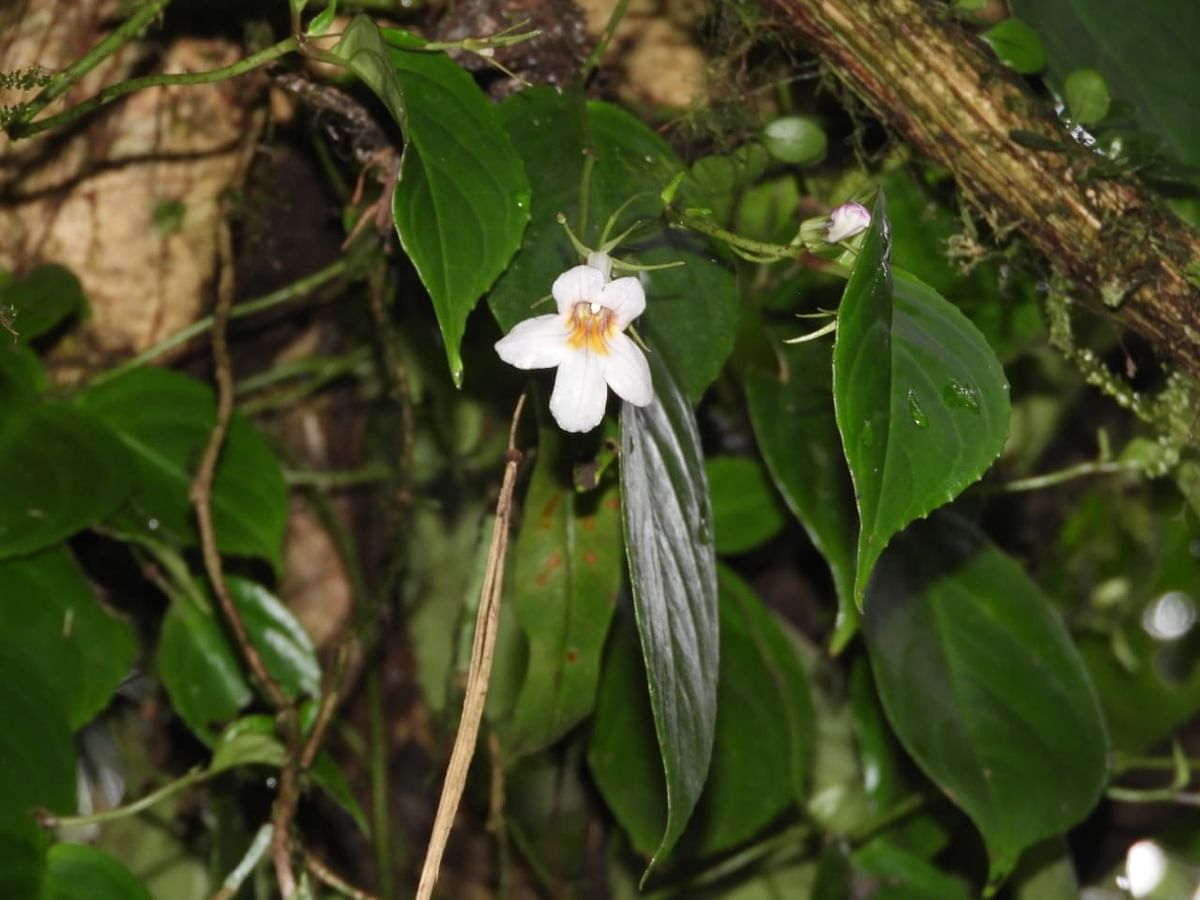 New plant species named after noted Arunachal scribe Taro Chatung