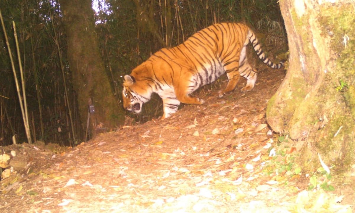 2 years on, Bengal tiger spotted by camera traps in Kalimpong