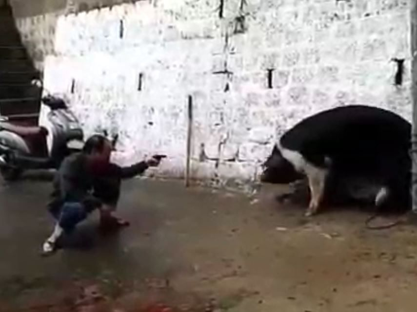 WATCH: Mizoram minister slaughters pig with gun; activists see red