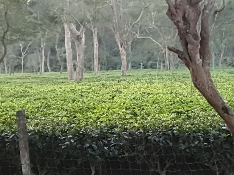 'Tea gardens may be green cover, but no replacement for a forest'