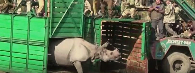 The two female rhinos were translocated to Manas National Park under the 'Rhino Vision 2020' programme