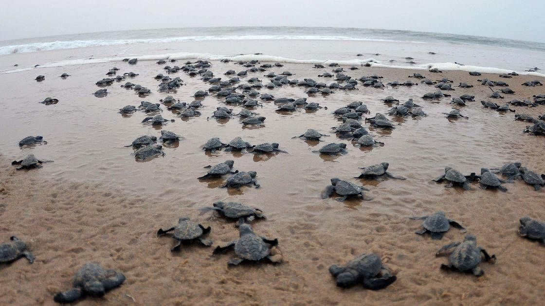 COVID-19: Olive Ridley Turtles Start Nesting On Odisha Coast