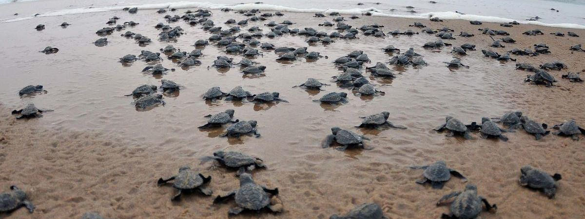 File photo of Olive Ridley hatchlings making  their way into sea