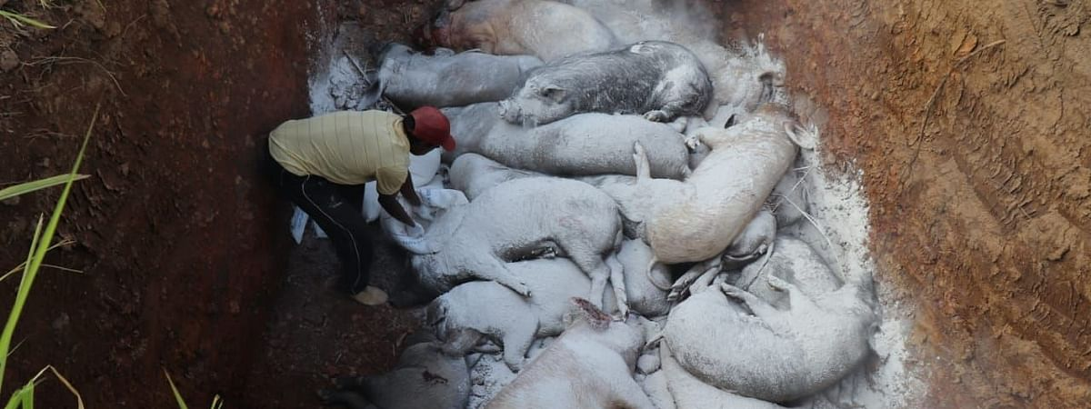 At least 68 pigs imported from Myanmar were seized in three Mizoram's district -- Champhai, Lunglei and Siaha -- between January and February this year