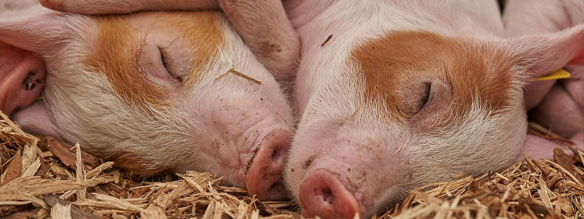Over 1,300 pigs deaths have been reported in various districts of Assam in recent times