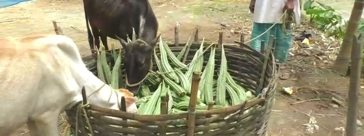 Animals feeding on heaps of vegetables have become a common sight in Kharupetia in Assam's Darrang district since farmers are not getting buyers