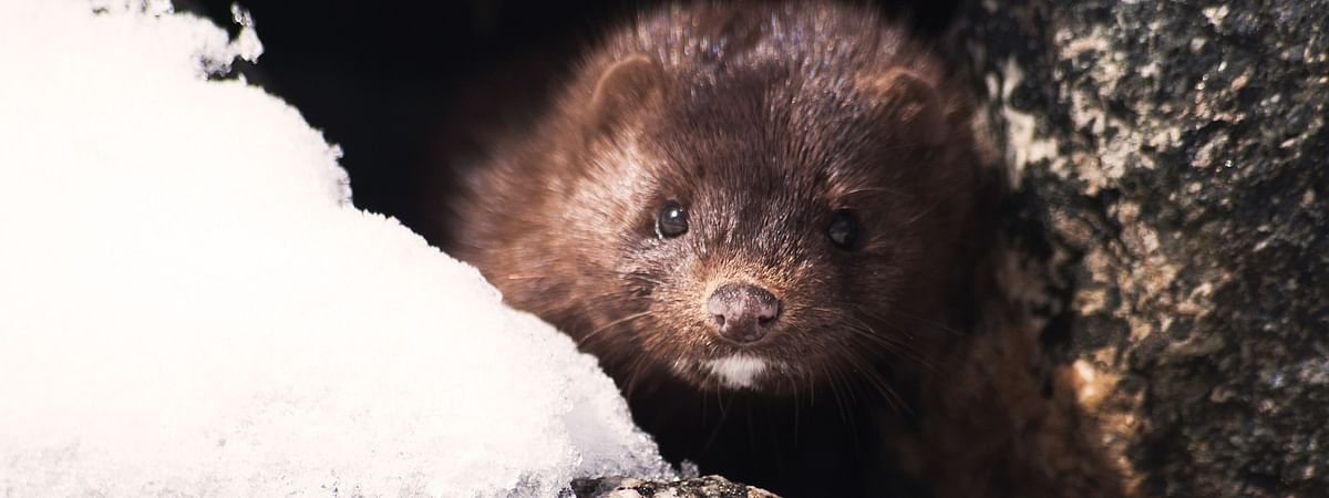 Animals at two mink farms in the Netherlands have tested positive for the deadly COVID-19