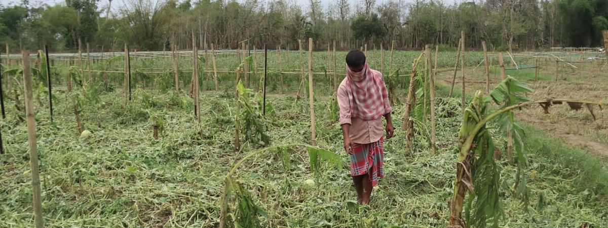 A farmer inspecting his crop field in Bishalgarh sub-division under Sepahijala district on Thursday a day after a storm hit the region on Wednesday