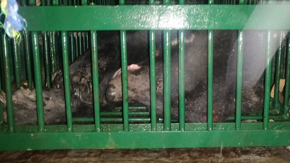 Bear gets new home at Pangolakha sanctuary in East Sikkim