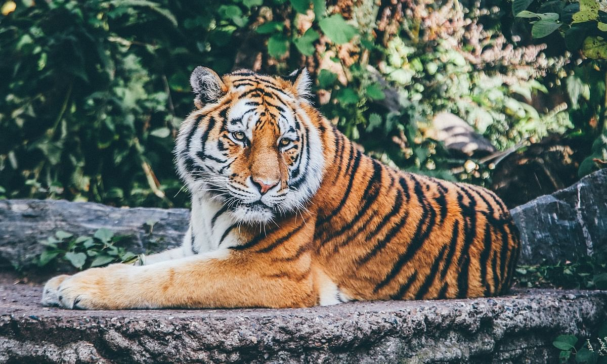 Tiger roams freely in Tezpur