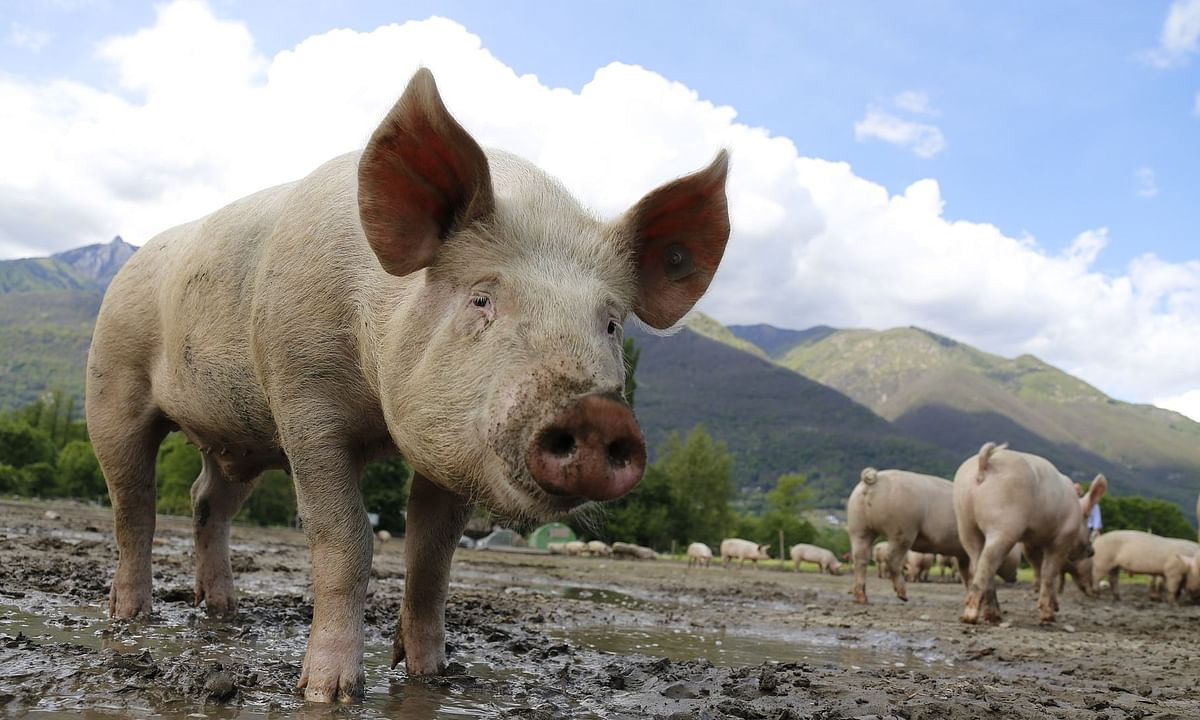 Meghalaya government awaits the results of samples of 49 dead pigs sent for testing