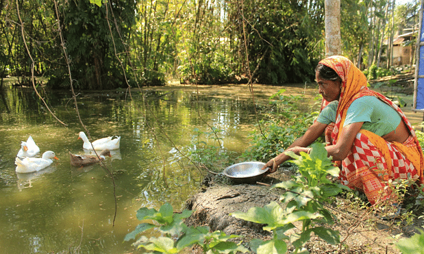 The ducks have multiplied and now 57-year-old Monowara Begum also sells eggs and as the flock has grown, she now sells one or two ducks every week