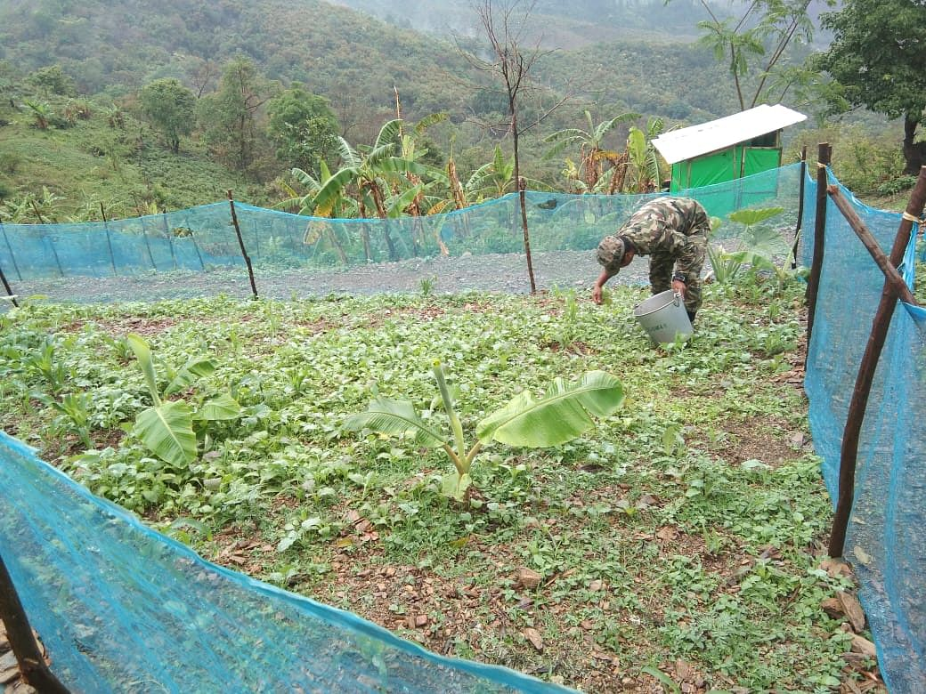 An NSCN-IM rebel collecting vegetables from their kitchen garden