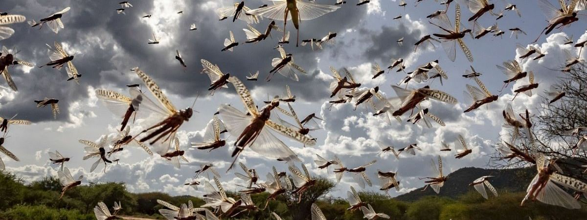 This is the second round of locust attack in India. The previous one happened between December 2019 to February 2020