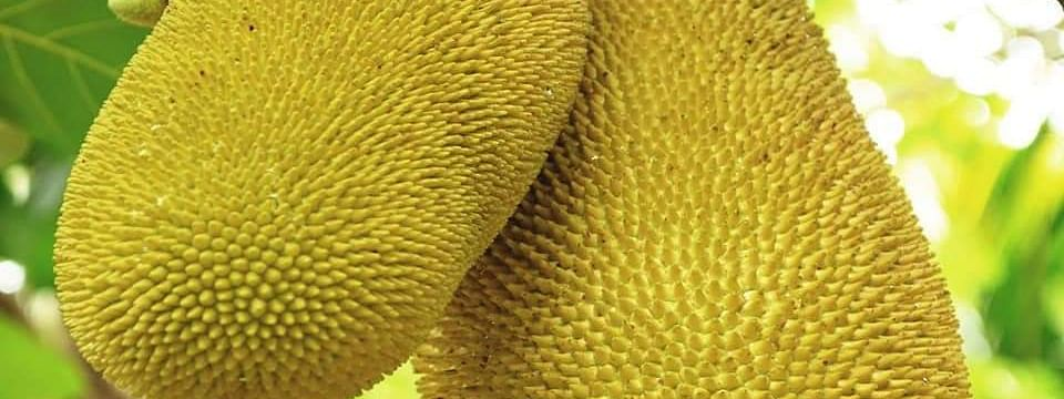 The giant jackfruit weighs 51.4 kilogram and is 97 cm long