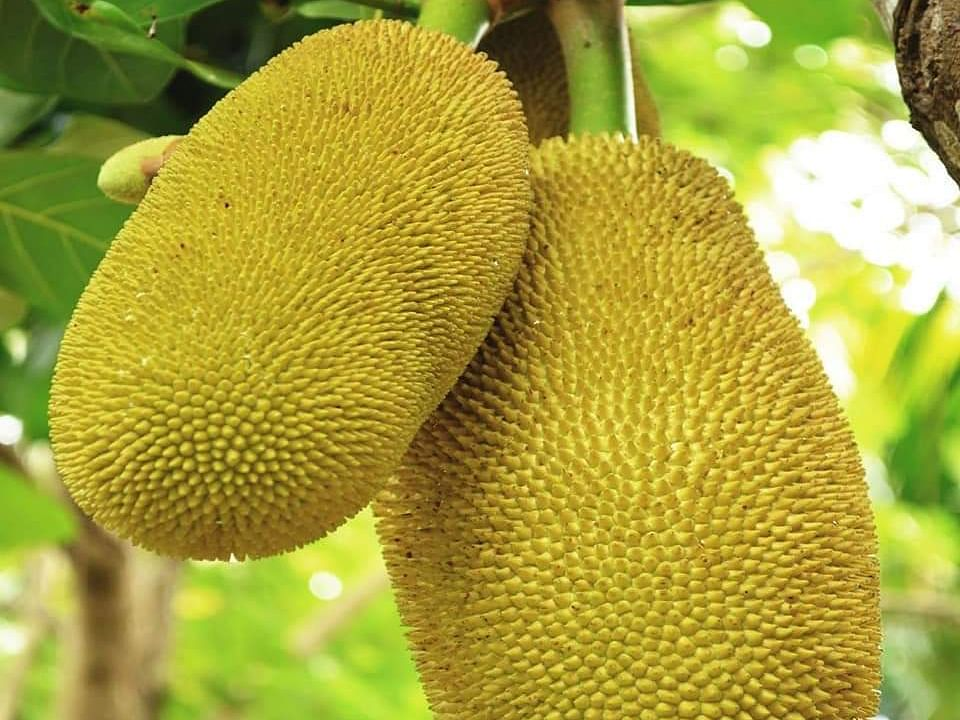 Kerala jackfruit weighing 51.4 kg set for Guinness World Records