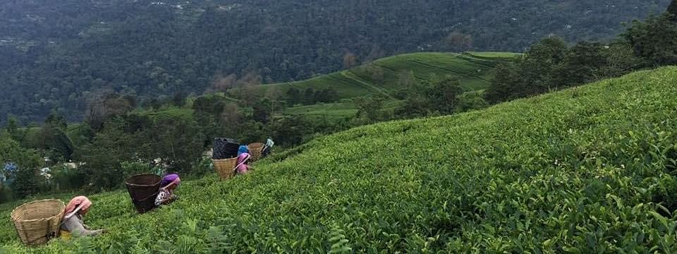 Tea plantation in the farm at Biksthang