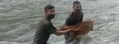 The deer was being carried away by the strong river current of Jiding Kho River