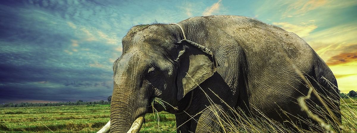 According to forest officials, the jumbo was being treated for its injuries for the past five days