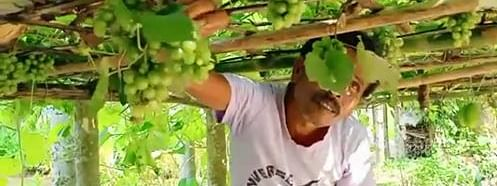 Hiran Debnath  harvesting grapes from his orchard in Triura's Dhalai district