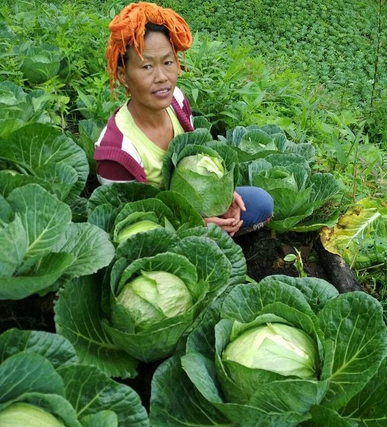 A local collecting organic cabbage from her farm
