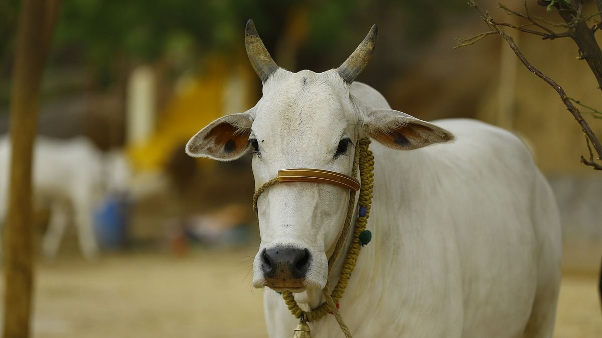Vallabhbhai Kathiria the RKA Chairman added that the cow is full of science that needs to be explored