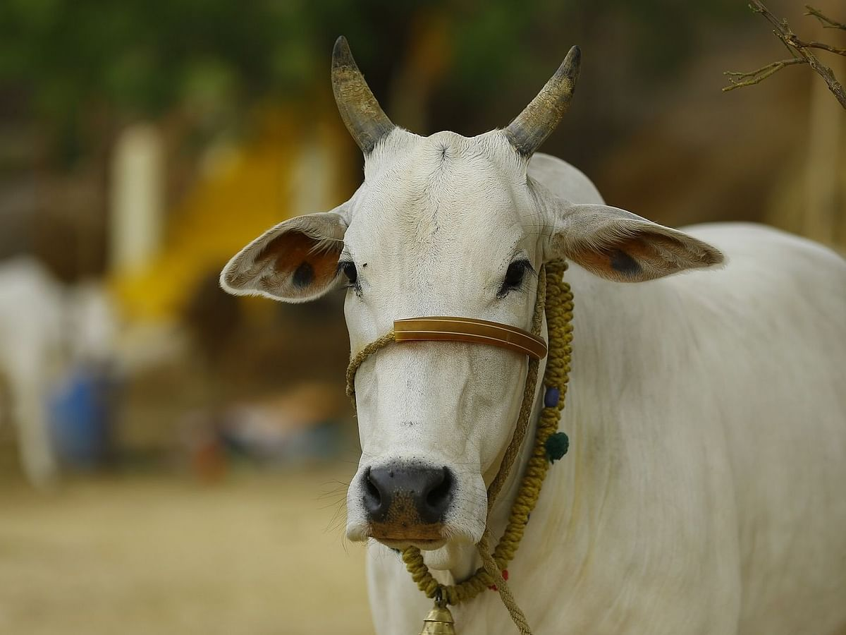 Over 24,000 cows seized from Assam-Bangladesh border in one year: BSF