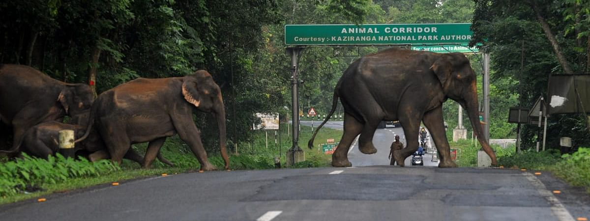 Exodus of elephants in Kaziranga national Park to safer places continues