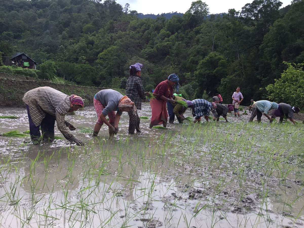 Manipur: Green paddy for sustainable livelihood amid pandemic lockdown