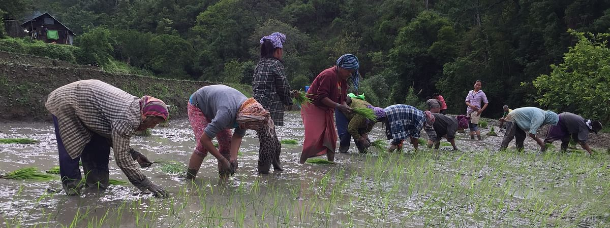 Rice remains a staple diet for the people in Manipur