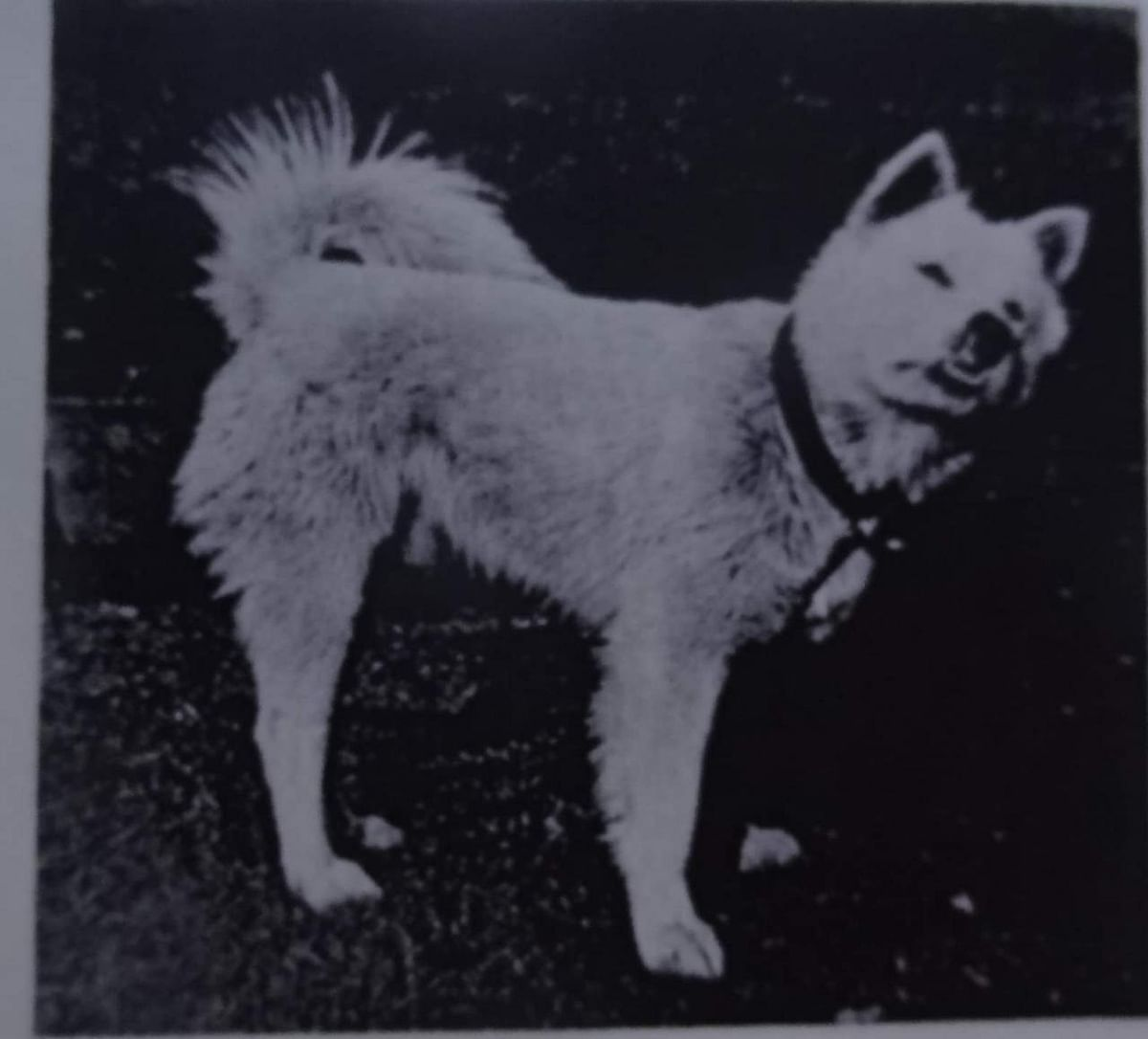 Naga dog owned by colonel Shakespear (Kennel encyclopaedia 1908)