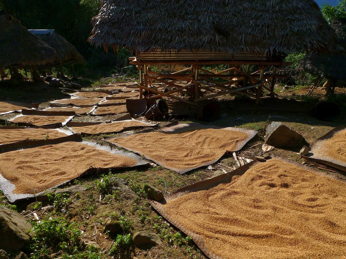 Rice being dried in the sun before storing in the granary hut