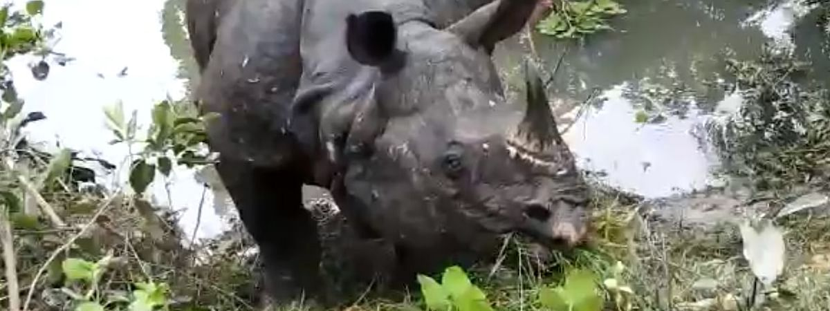 The rhino had strayed out of the park near bandar dhubi area at Bhagori range